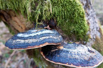 Gros plan de deux champignons sur un tronc d'arbre couvert de mousse sur creativcontent