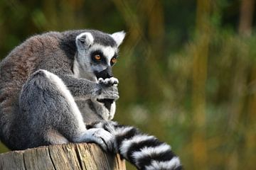 Lémurien à queue ronde (Lemur catta) sur Koolspix