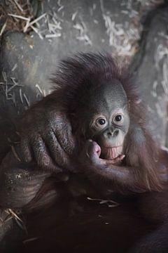 Nachdenklich und ein wenig traurig wie ein Baby. Ein süßes kleines Orang-Utan-Baby und eine große zu von Michael Semenov