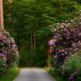 Rododendron bij het Ronde Huis in Nunspeet van Jenco van Zalk