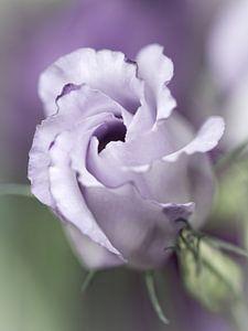 Precious Pink... (bloem)