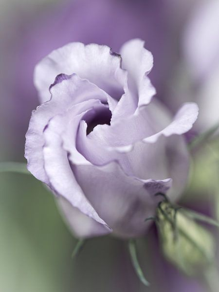 Precious Pink... (bloem) van Bob Daalder