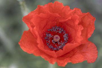Mohnblüte -2 von Mi Vidas Fotodesing