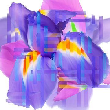 Iris, blauw rose geel van Herman van Belkom
