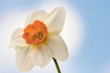 Zijdewit en oranje kroon, lente bloem wat ben je mooi van J..M de Jong-Jansen