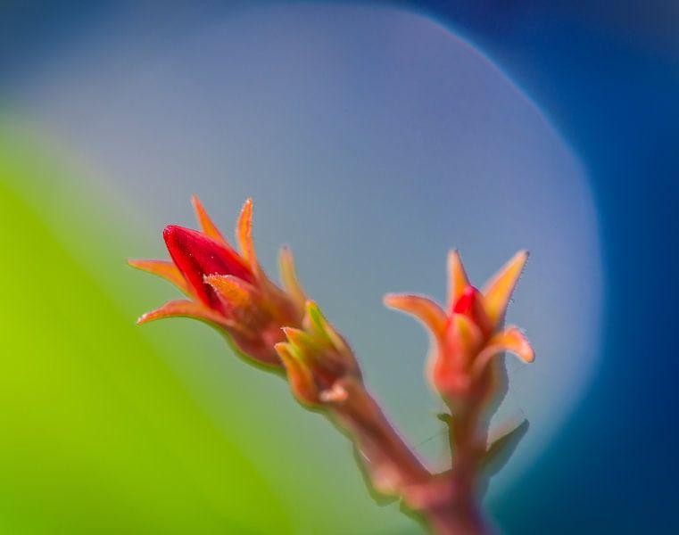 Oleander van Harrie Muis