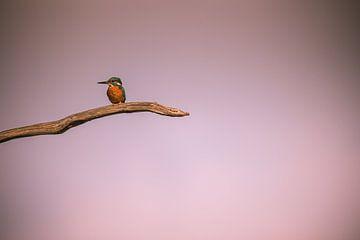 Eisvogel von Robin Scholte