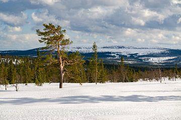 Lichte bossen op het plateau naar Fulufjälett Nationaal Park in Zweden van Leo Schindzielorz