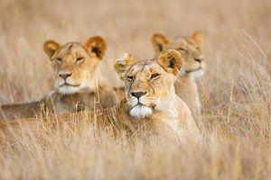 Leeuwen in het gras