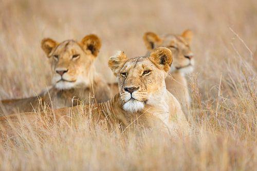Leeuwen in het gras van