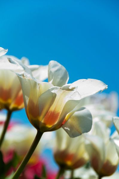 Weiße Tulpen von Ton de Koning