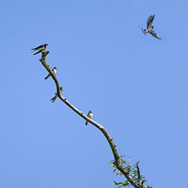 Groupe d'hirondelles rustiques (Hirundo rustica) assises sur une branche dénudée, l'un des oiseaux s sur Maren Winter