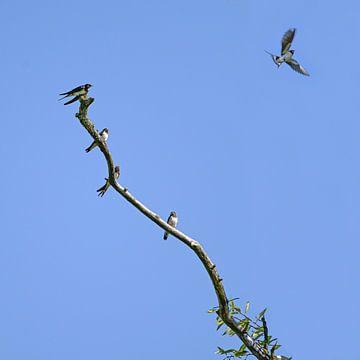 Groep boerenzwaluwen (Hirundo rustica) zittend op een kale tak, een van de vogels vliegt de blauwe l