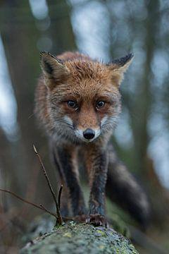 Rotfuchs ( Vulpes vulpes ) beäugt Kamera-Falle, lustige Frontalaufnahme von wunderbare Erde
