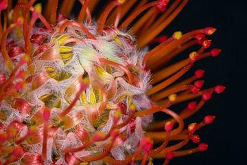 Leucospernum Nutans von Foto Hal