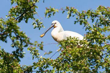 Lepelaar hoog in de boom van Mirjam Welleweerd
