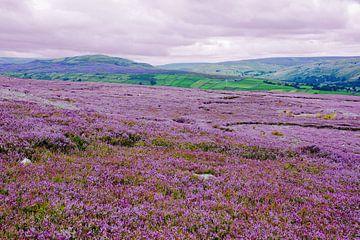 Heideblüte in den Yorkshire Dales von Gisela Scheffbuch