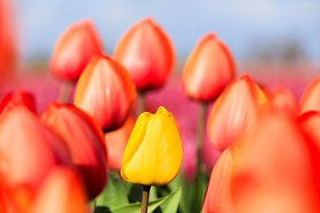 LP 71175377 Gekleurde tulpen in Nederland van BeeldigBeeld Food & Lifestyle