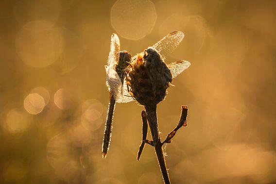 Dragonfly Bokeh van Sander Meertins