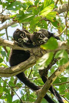 Neusbeertjes Costa Rica van Merijn Loch