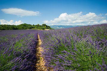 Valensole, Provence, Frankreich von Vincent Xeridat