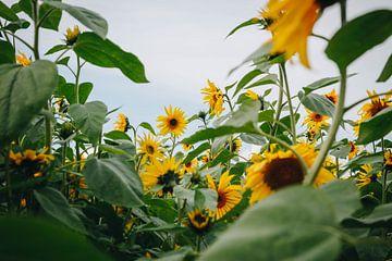 Sommersonnenblumen in der Spätsommersonne in Almere, Niederlande II von Evelien Lodewijks