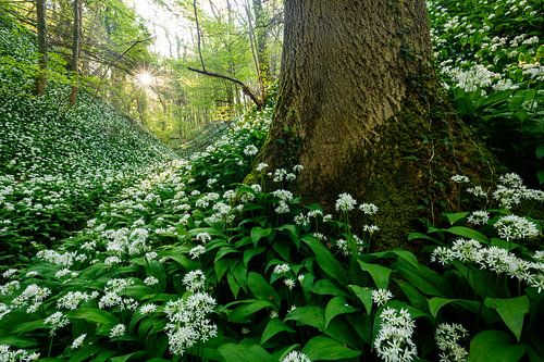 Savelsbos in de lente van Marijn Heuts