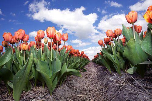 Eindeloze rij rode tulpen