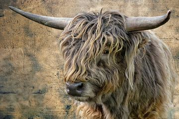 Schotse Hoogland Vee jonge stier van Joachim G. Pinkawa