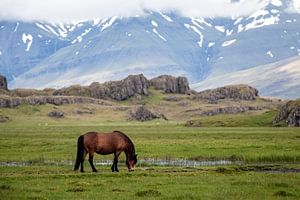 IJslands paard van Ab Wubben