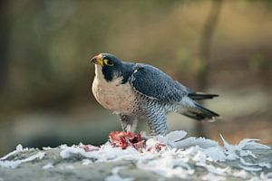 Peregrine Falcon ( Falco peregrinus ) gorging on prey