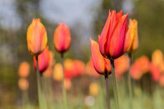 Tulpen van Bruno Hermans