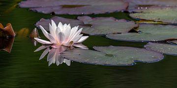 Die Schönheit einer Lilie. von Marcel Pietersen