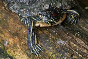 Sägeschildkröte : Old Hand Animal Park von Loek Lobel