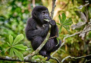 juvenile mountain gorilla sitting on a branch