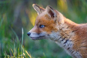 portret van een jonge vos van