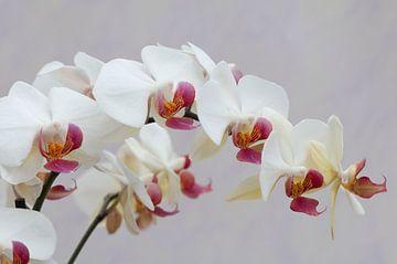Witte orchidee (Orchideae) van Tamara Witjes