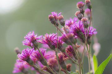 Fuchsia Herbstpracht von Tania Perneel