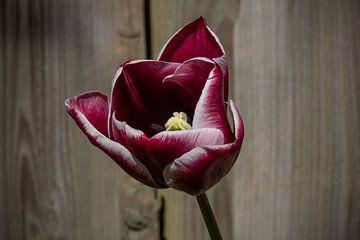 Donker rood/witte tulp van Ton van Waard - Pro-Moois