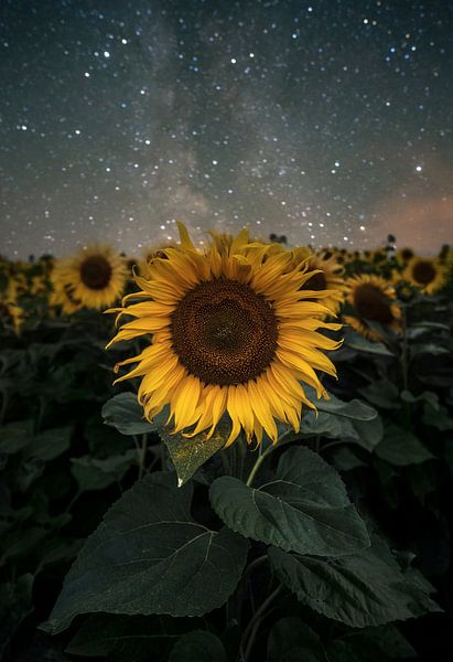 Sunflowers vs Milkyway von Patrick Noack