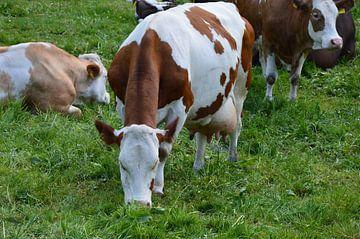 Kühe auf der Weide von Susanne Seidel