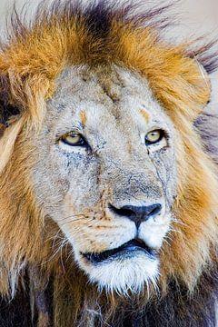 Lion Face von Peter Michel