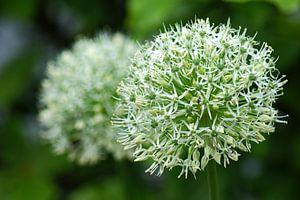 Witte Allium in bloei