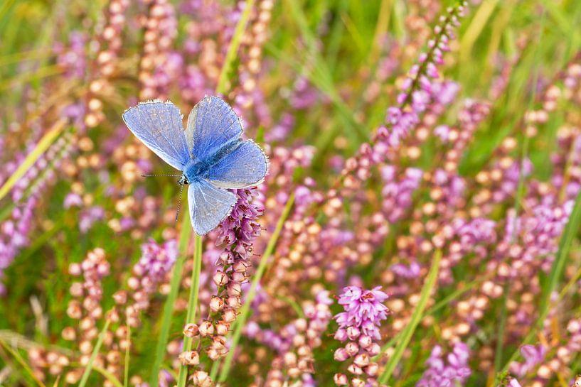 Icarus blauwtje en heide op Texel / Common blue and heather on Texel van Justin Sinner Pictures ( Fotograaf op Texel)