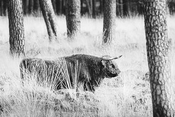 Schotse hooglander in de bossen van het Deelerwoud op de Veluwe van Melissa Peltenburg