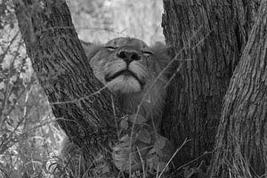 Zwart wit leeuw knuffel boom van Marijke Arends-Meiring