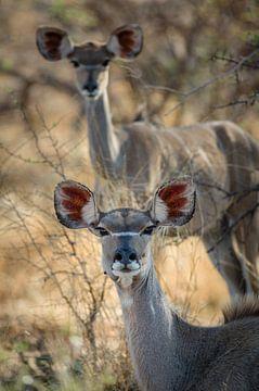 Kudu's