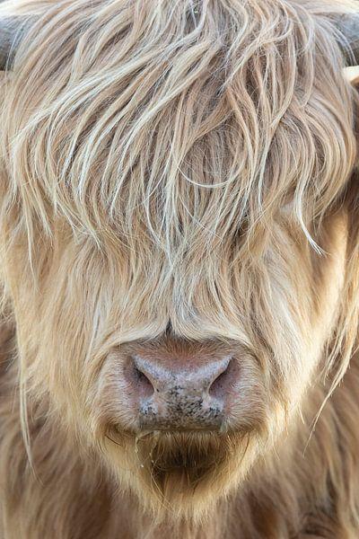 Schotse Hooglander in de zon | Zuid-Kennemerland portret van Dylan gaat naar buiten