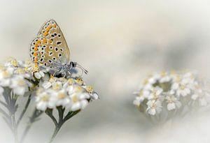 icarusblauwtje in een dromerige omgeving