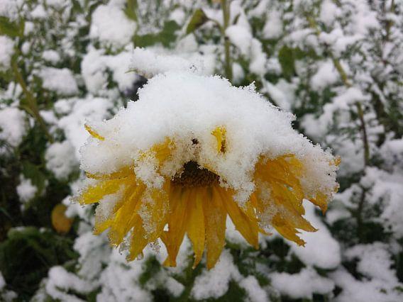 Zonnebloem in de sneeuw van Andrea Meister